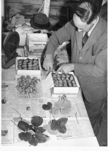 Figure 8 Quality care for quality strawberries. Edgar Magness demonstrates the attention to detail that made the Magness name so renowned.