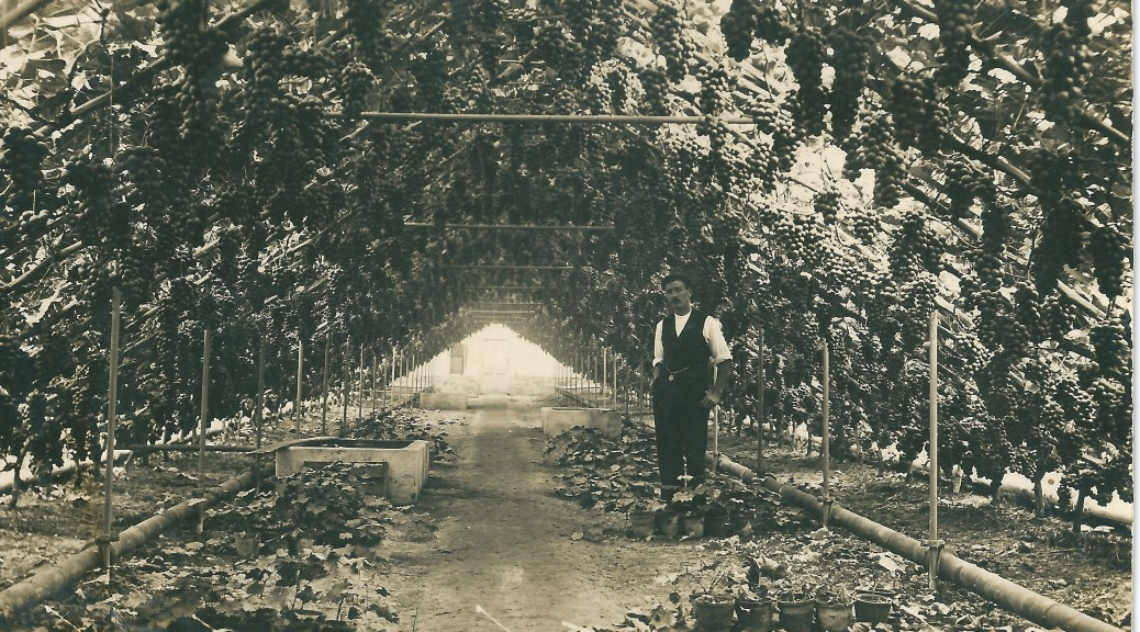 Inside a vinery at Fuller's nurseries, Lancing c.1910
